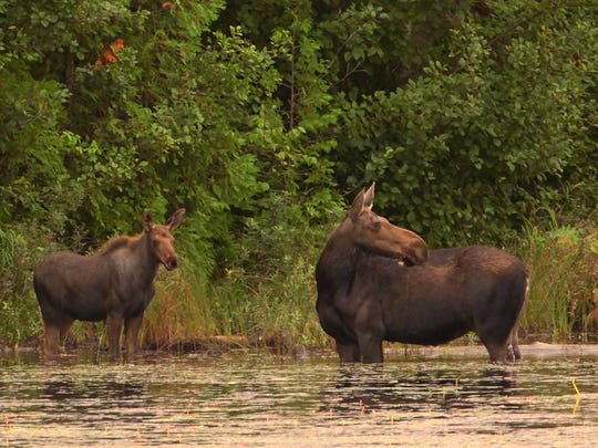 A cow moose and her calf stand in an inland lake at Isle Royale National Park in August of 2015. The aquatic plant water shield grows in several of Isle Royale's lakes, a summer delicacy for moose.
