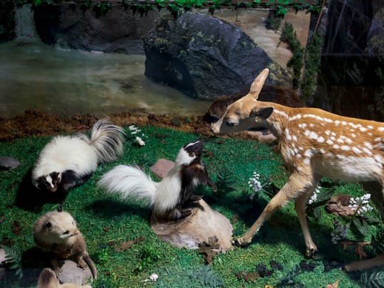 A fawn tries to make friends with a skunk inside one of the displays at Guntzviller's Spirit of the Woods Museum in Williamsburg on Aug. 17, 2017.