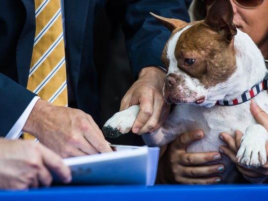 Libre, a Boston terrier that was left for dead at a Lancaster dog-breeding facility last year and became the poster dog for overhauling Pennsylvania animal abuse laws, signs his bill, Libre's Law into law on Wednesday, June 28, 2017 on the lawn of the Capitol building.
