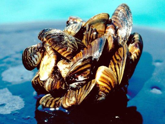 Invasive zebra mussels, shown here, and similar quagga