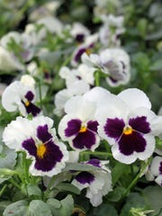 Because of their interesting blotched faces, the French named pansies for their thoughtful looks.