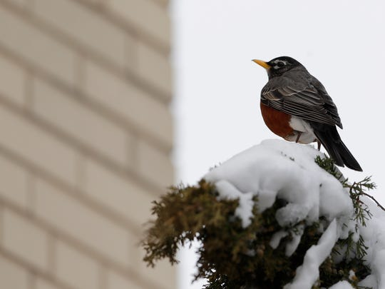 A robin perches on a shrub outside City Hall in downtown Green Bay on Tuesday.