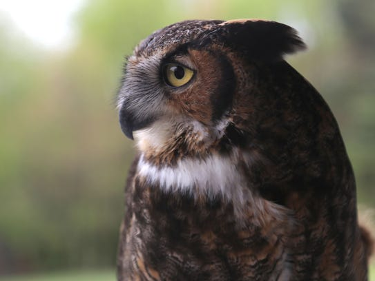 Seymour, a 13-year-old Great Horned owl, surveys the land of the Ohio Bird Sanctuary during Mohican Wildlife Weekend in 2017.