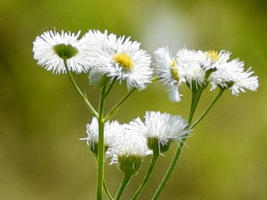 Erigeron annuus or commonly called Fleabane