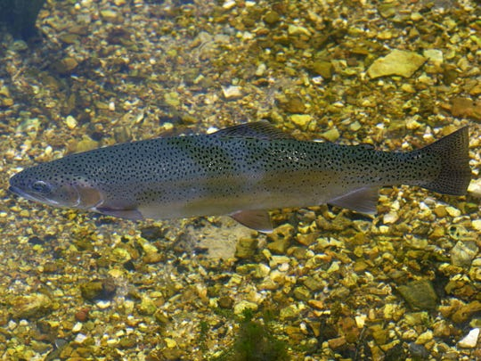 A rainbow trout raised at one of the conservation department