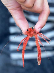 Joshua Krusiewicz, 12, displays a tiny red crab found