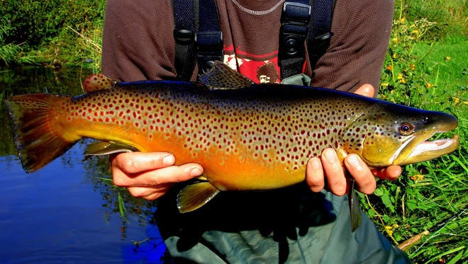 A big hooked--jaw male brown trout caught in the driftless area