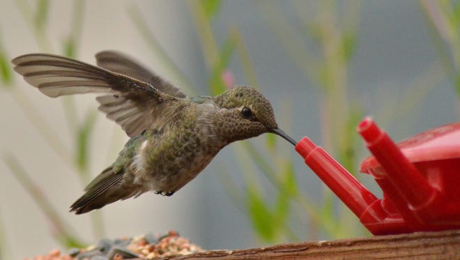 Supplement hummingbird diets by putting up a feeder with sugar water. But those with feeders must commit to keeping them clean or they can do more harm than good.