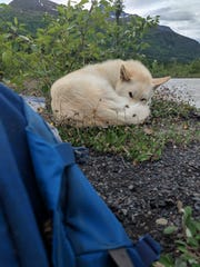 Nanook came upon Amelia Milling after she had a mishap on a hiking trail in Alaska. The husky stayed with her and likely saved her life on a treacherous river crossing.