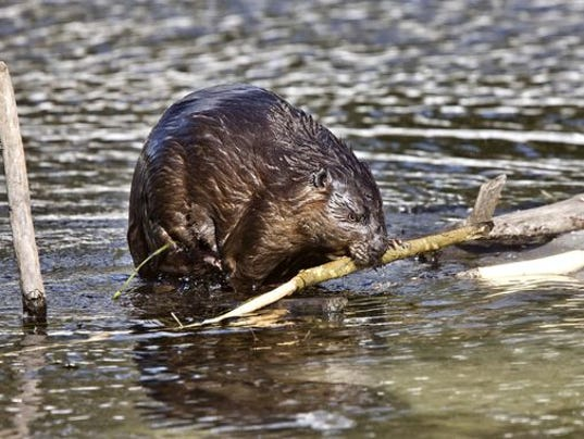 beaver stock.jpg