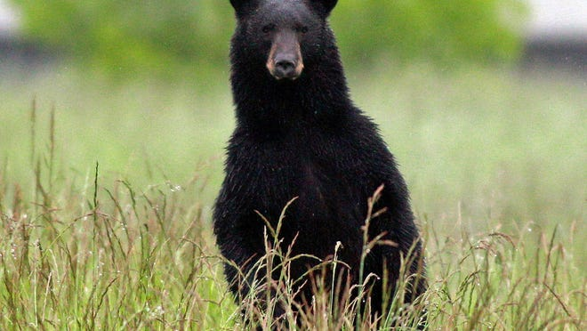 Gov.-elect Phil Murphy has pledged to end New Jersey's bear hunts.