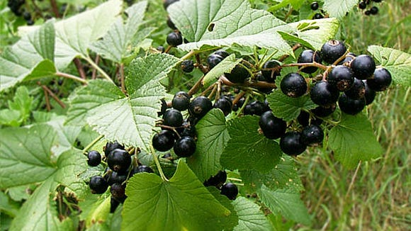 Cayuga Lake-based Glenhaven Farm Winery recently released a wine made from black currants. After being banned for nearly a century, black currants became legal again in New York in 2003, when the state began allowing commercial operations and home gardeners to plant cultivars that do not spread a tree fungus affecting white pines. Public domain photo from Wikimedia Commons.