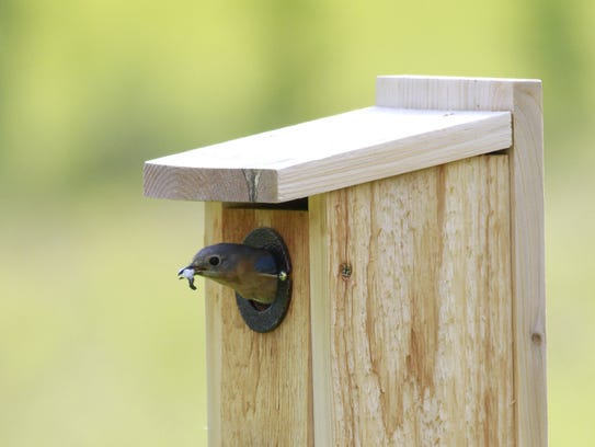A female bluebird at the opening of the nest box. Just