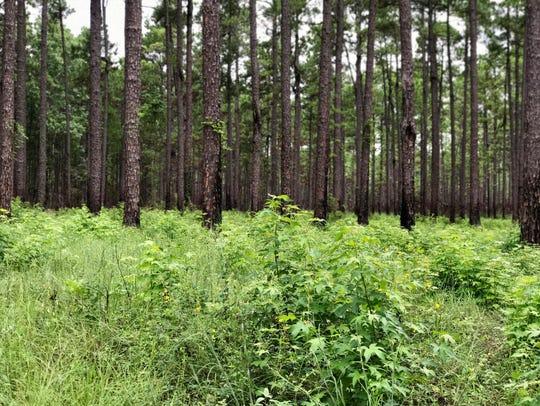 Longleaf pine at Camp Claiborne.