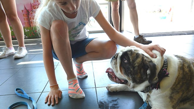 """Daisy the English bulldog receives a little love during the MINI of Reno's 8th annual """"Biggest Little Bulldog Beauty Contest"""" photo shoot on June 16, 2018."""