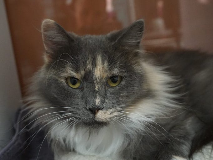 Penelope is a stunning longhair dilute torti. She is