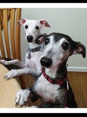Christine Linsalata's Italian greyhounds Memphis, 10