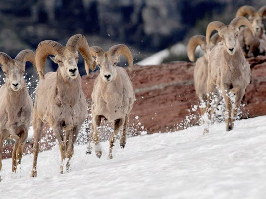 A small herd of bighorn sheep run across an alpine meadow above Logan Pass in Glacier National Park, Mont.