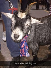 A Snapchat photo of a goat being paraded outside Wrigley