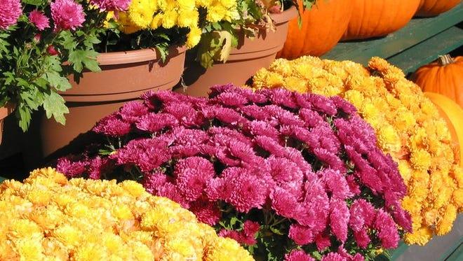 A colorful display of mums and pumpkins at a fall market.