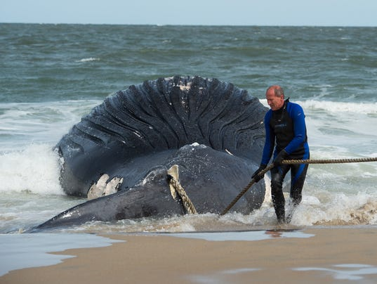 Fifth Humpback Whale Washes Ashore In Delaware