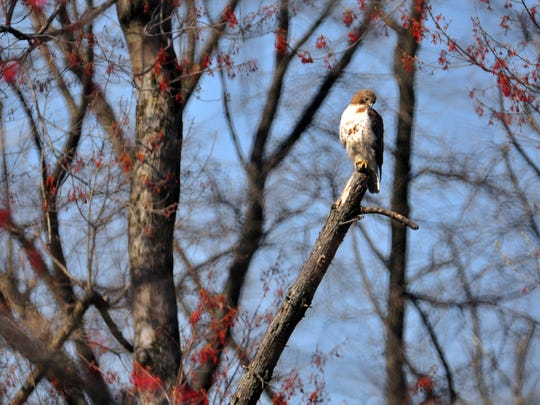 A red-tailed hawk on the mend from being shot by an