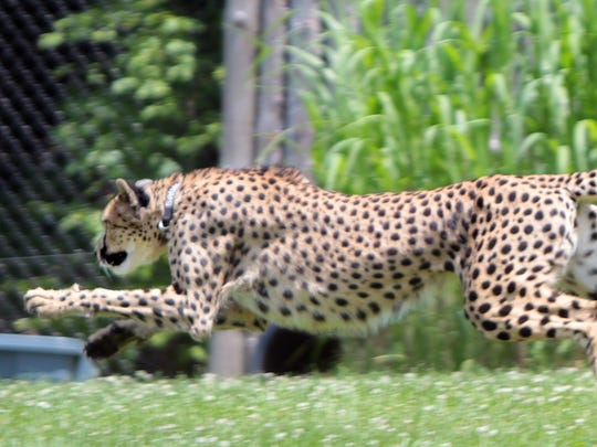 Savannah, a three-year-old, female Cheetah at the Cincinnati