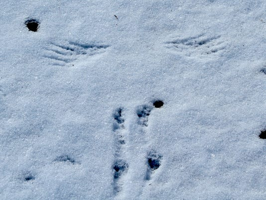 Cardinal-wing-and-foot-tracks-from-takeoff.-Photo-by-Zach-Smith.jpg