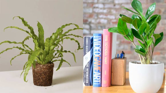 Best gifts under $50: Plants from The Sill or Bloomscape