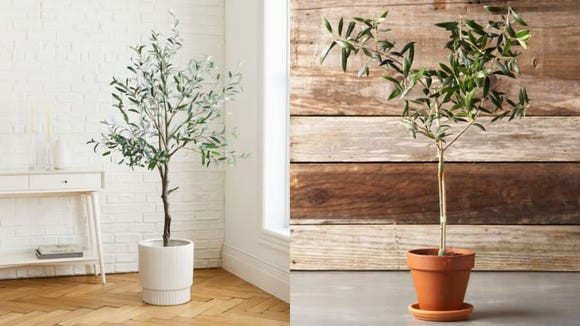 Olive trees have taken over as the newest trendy plant.