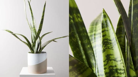 This snake plant is 150% pet-friendly.