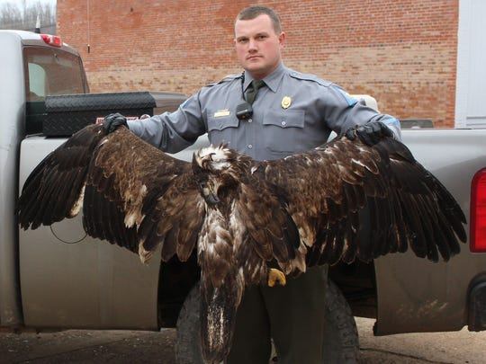 Conservation Alan Lamb holds up the body of an immature bald eagle that was found shot near Patterson. It was one of two bald eagles killed intentionally in southeast Missouri in January.