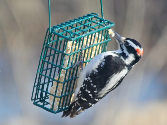 636519476864619108-JW-hairy-woodpecker-9884.jpg