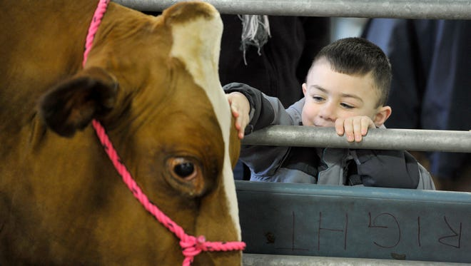 Kaiden Gerth, 4, of Reading, pets a cow he visited with at the Pennsylvania Farm Show in Harrisburg in 2016.