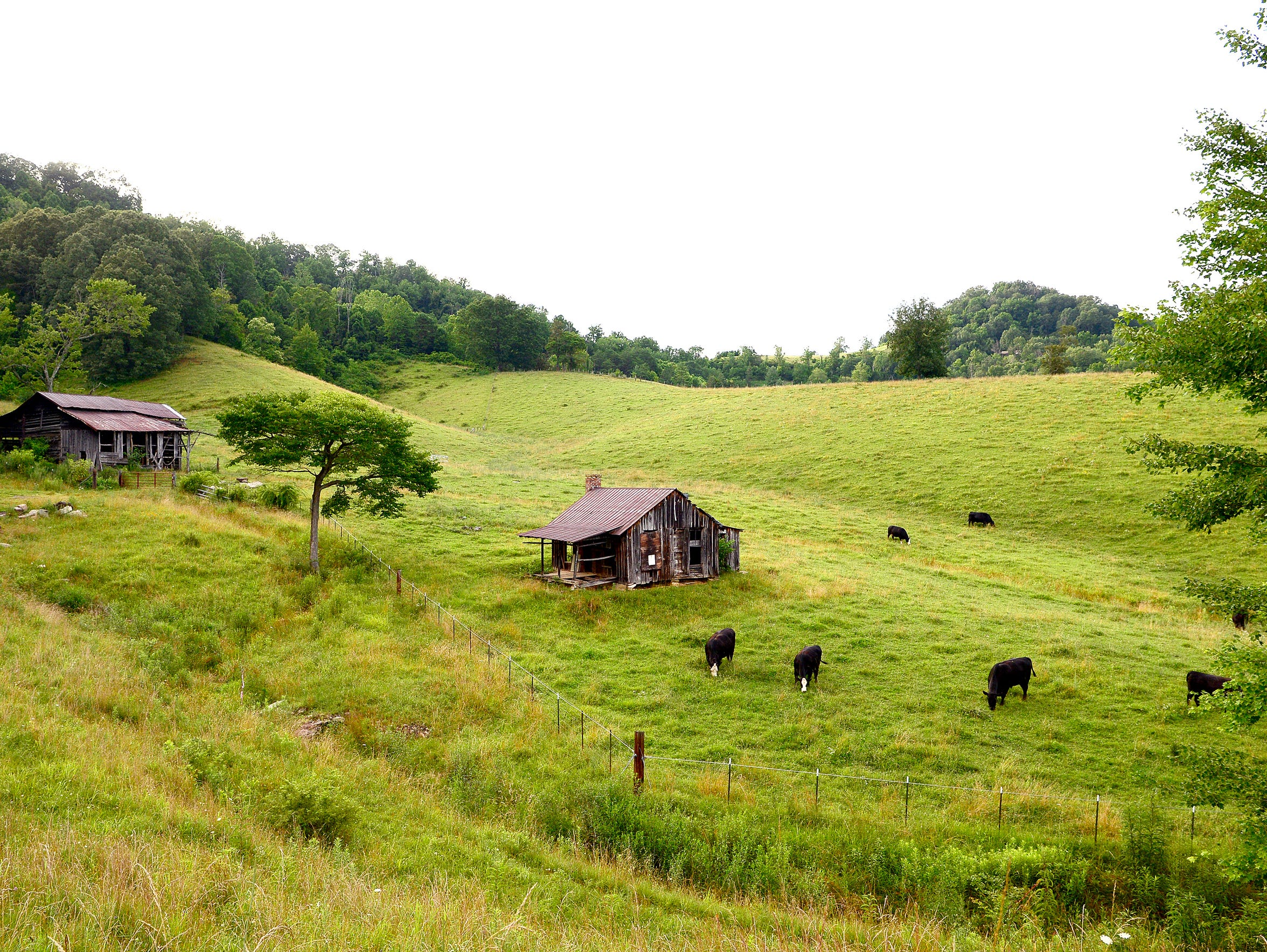 Cows graze on the land that will soon be home to new