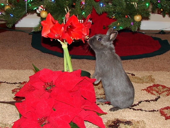 JAN. 2 – Smoky is a 2-year-old Polish rabbit. He lives