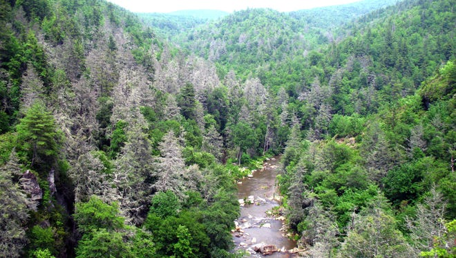 : Hemlock trees in the Appalachians have been devastated by the Hemlock Woolly Adelgid.