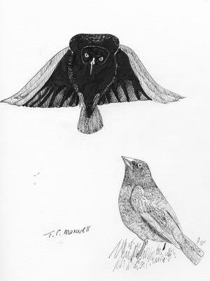 Bronzed cowbird males perform a strange, elaborate courtship display.