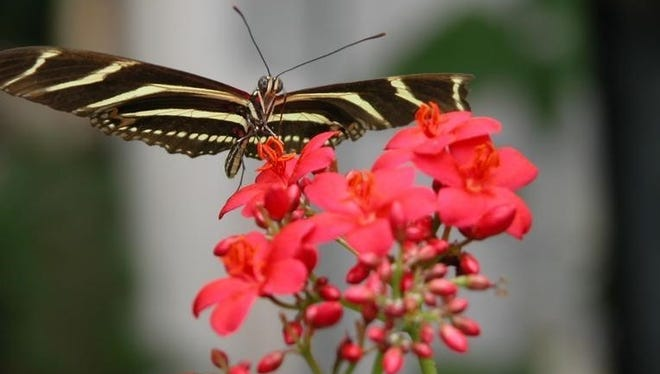 The zebra longwing is Florida's state butterfly.