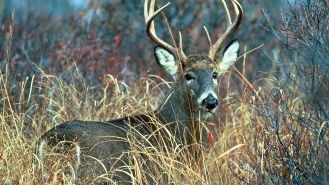 Vermont's traditional rifle season for deer gets underway Saturday. The 16-day hunt runs Nov. 12-27 and only bucks having at least one antler with two or more points may be taken.