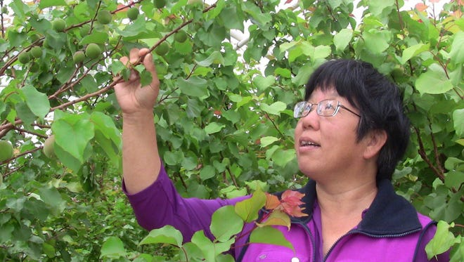 NMSU extension fruit specialist Shengrui Yao is researching raising apricot trees in a hoop house to protect the blossoms from late spring frost. She is looking at the first crop that survived with the help of propane burners.