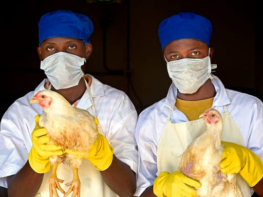 KORE employees prepare chickens for processing at a