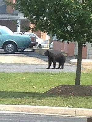 A bear was seen Thursday in Verona on Lee Highway.