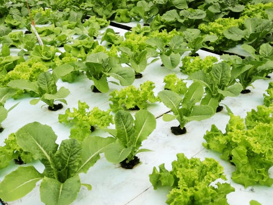 Lettuce growing at Lake Orchard aquaponics Thursday