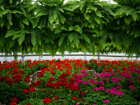 Ferns and geraniums are a big deal at Jenkins Family Greenhouses and will soon be flying from the greenhouses' doors.