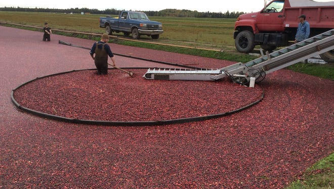 Workers harvest cranberries at James Lake Farms. The Oneida County farm grows organic cranberries on 65 acres.