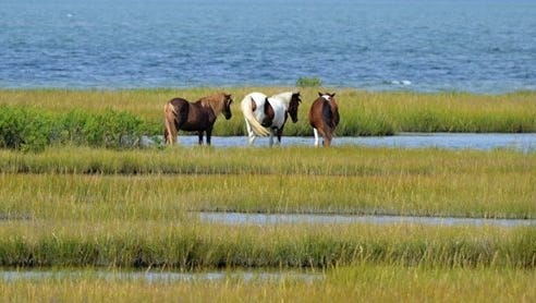 Johnny's Star, center, is seen grazing on Assateague Island in this 2014 image.