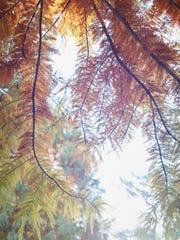Bald cypress BALD CYPRESS.