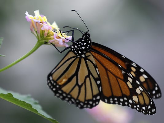 635923434865194951-monarch-butterfly.jpg