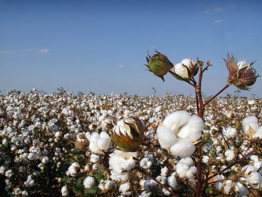 A field of cotton in North Texas is almost ready for
